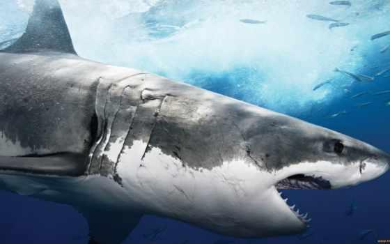 акула, белая, акулы