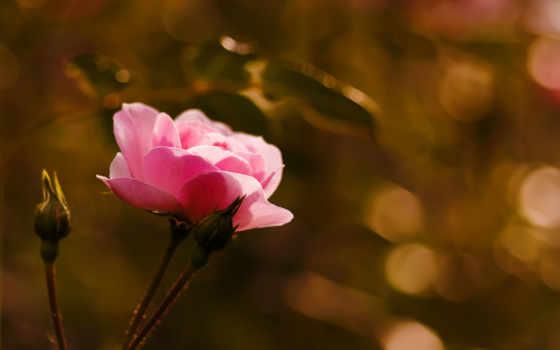 макро, роза, розы