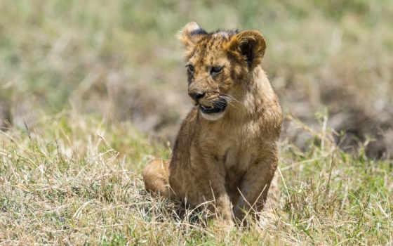 lion, hintergrundbild, live