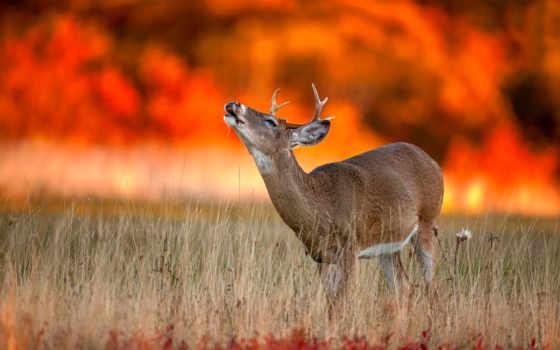 лань, животные, природа, дикая, пасть, осень, zhivotnye,