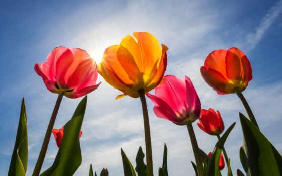 cvety, zonnige, dag, tulpen, kleurrijke, тюльпаны,