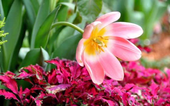 лепестки, тюльпан