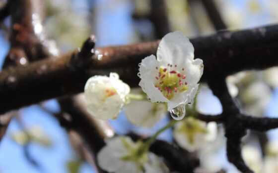 цветы, белые, pictures