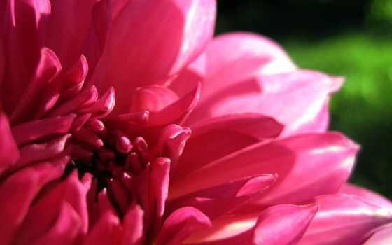 dahlia, лепестки, розовый