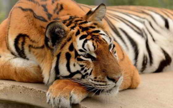 тигр, лапа, кот
