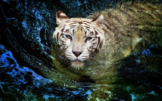 тигр, white, albino