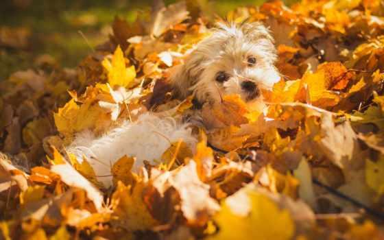 собака, листопад, осень, листва, zhivotnye, день, природа, осенних, лежит,