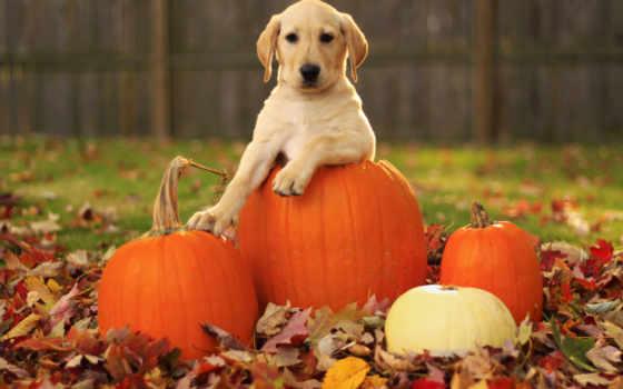 осень, листва, хорошем, собака, собаки, красивые, внешность, labrador, everything, retriever,