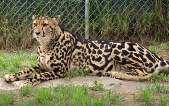 гепард, royal, кот, лежит, гепарды, zhivotnye, кошки, вышивки, схема, хищник, большие,