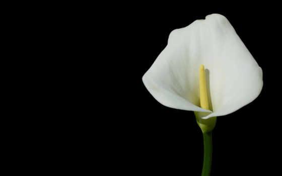 калла, цветы, темный, предпросмотр,