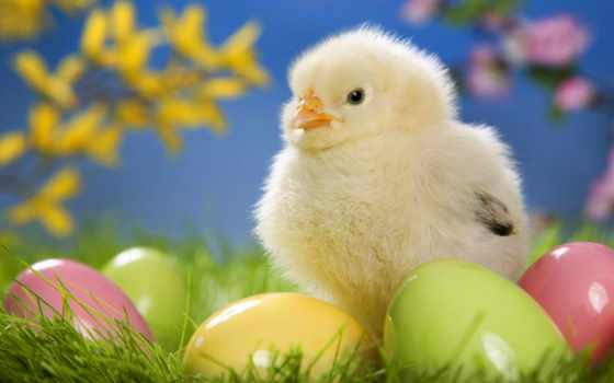 easter, chick, download