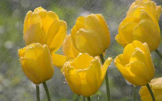 тюльпаны, под, желтые