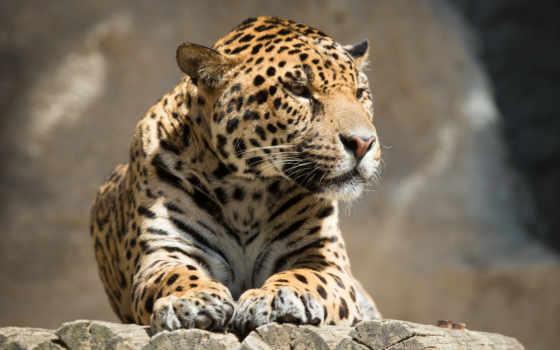 jaguar, кот, отдых