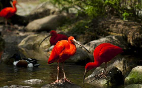 птицы, природа, trees, мох, камни, water, ручей, ибисы,
