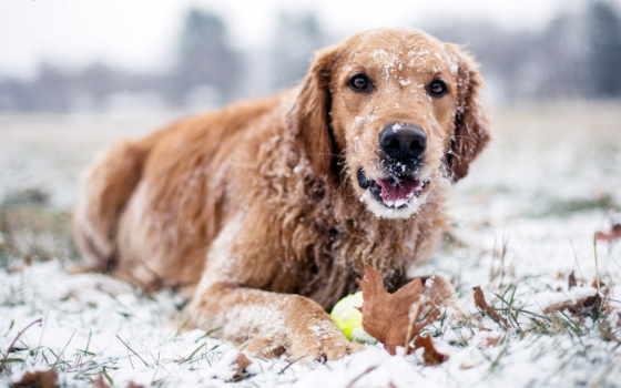 winter, собака, снег, высоком, качестве, зимой,