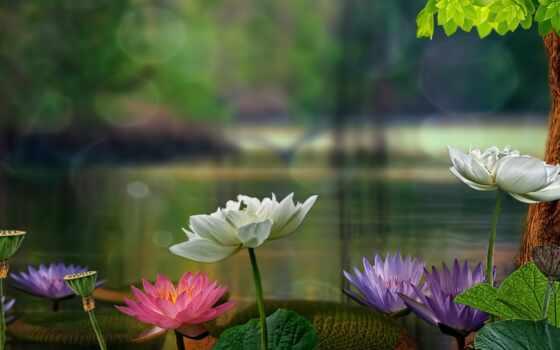 pin, share, subscribe, коллекция, lily, pinterest, lotus, water, листва, автор