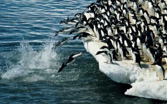 penguins, пингвины