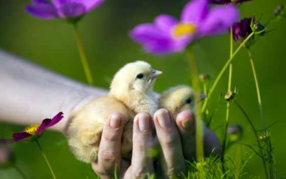 you, птицы, цыпочка, chicks, цыплята, high,