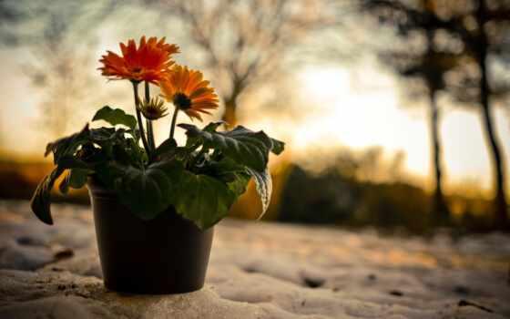 cvety, вечер, gerbera, род, природа