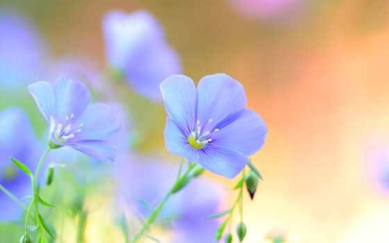 цветы, поле, лен, blue, summer, лепесток, ленок, lennyi, cvety