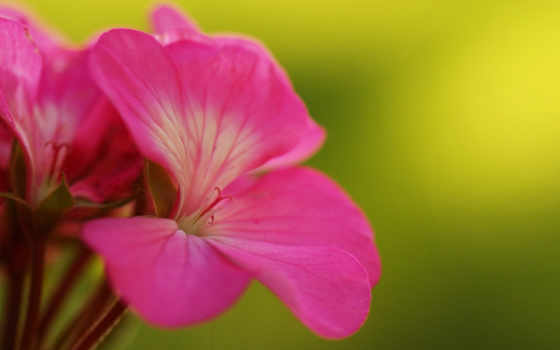 цветки, герань