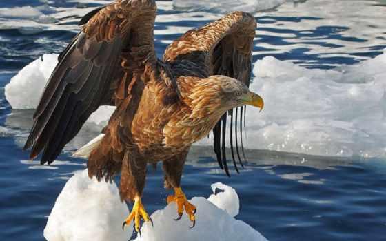 орлан, лысый, eagles, images, pinterest, об, pictures,