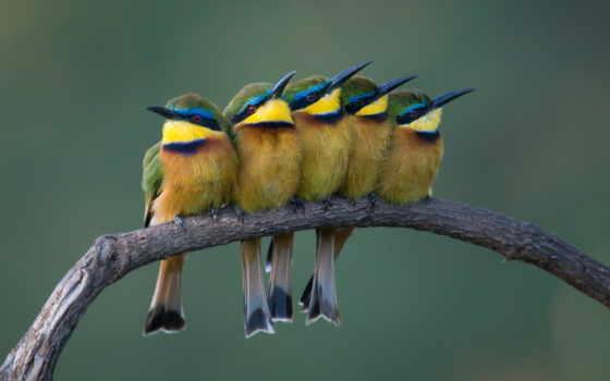 eater, пчелка, птицы, клюв, images, птица, finch,