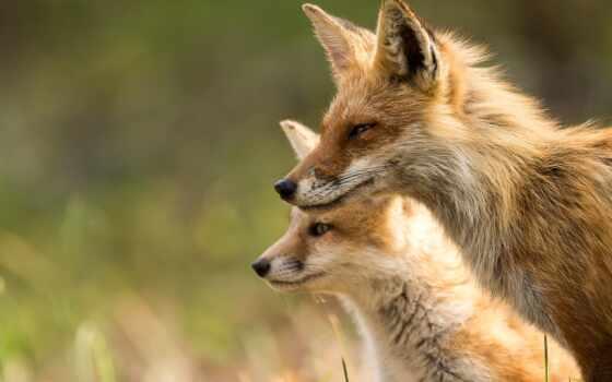 фокс, animal, лисенок, природа, свет