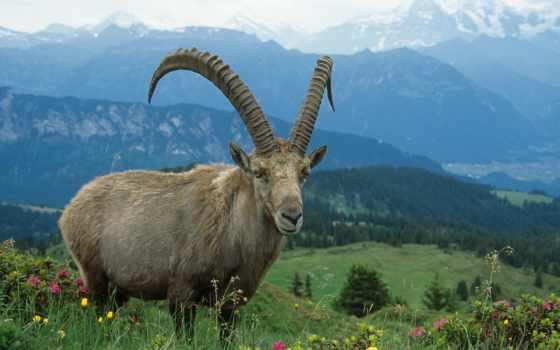 горный, козел, descargar, дикие, животные,
