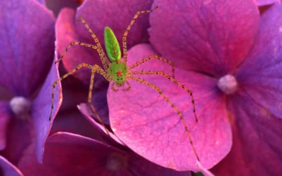 животными, những, паук, картинку, nhỏ, цветке, розовом, зелёный, violet, blume, flowers, реальном, размере, её, просмотреть, чтобы, color, bild, descargar, tags, nba,