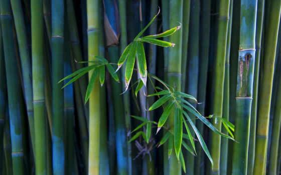 бамбук, стволы