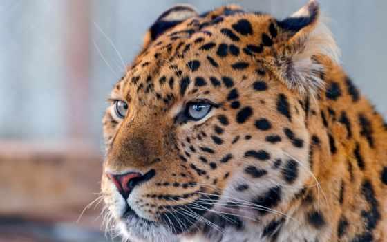 леопард, морда, хищник
