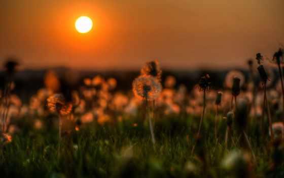 одуванчики, sun, большие, красивые, бесплатные, природа, закат, микс, часть, landscape, поле,