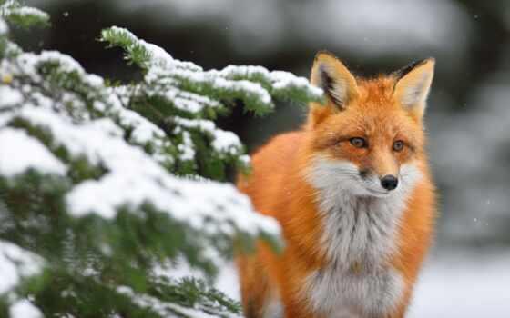 фокс, winter, снег, animal, red, fir, красивый, branch, волк, палуба, sit
