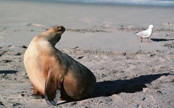 тюлень,животные,скачать,обои