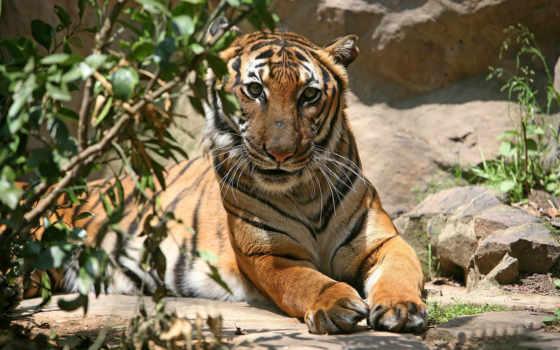 тигры, животные Фон № 19366 разрешение 1680x1050