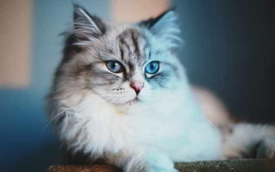 кот, пушистый, котенок