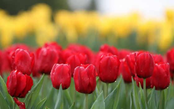 природа, cvety, тюльпанов, тюльпаны, фотосессия, надо, срезанных,