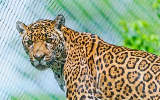 jaguar, animal, desktop