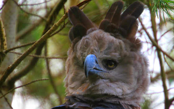 орлан, harpy, desktop