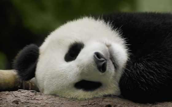 панда, панды Фон № 6356 разрешение 1920x1200