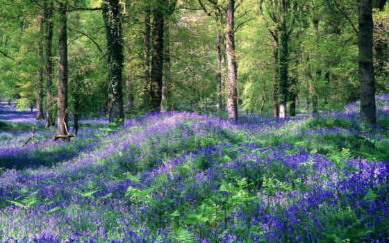 лес, цветы, зелень, вроде, ландыши, поляна, bluebells, nature, royal,