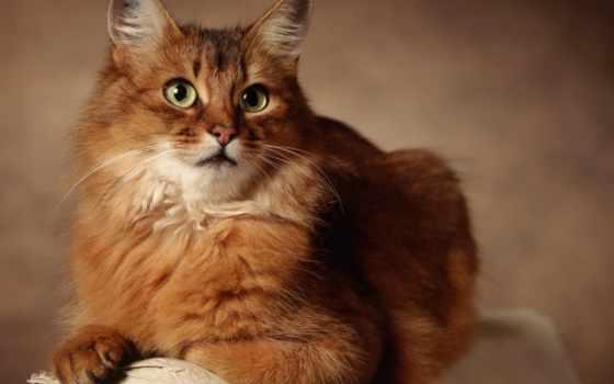рыжий, kot, glaza