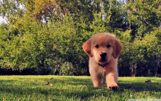 perro, pantalla, fondos, fondo, cachorro, hierba, кафе, золотистый,