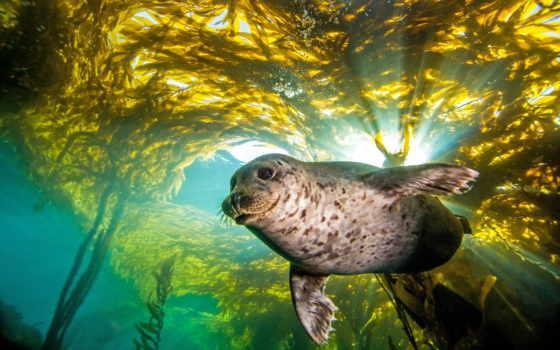 тюлень, pictures, seals, kelp, картинка, harbor, найти, stock, images,