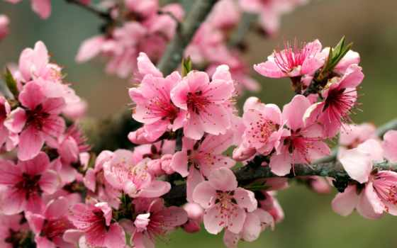 весна, cvety, яблоня, branch, вишни, цветущая, розовые, природа, яблони, apple,