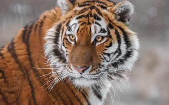 тигр, кошки, хищник, кот,, фотографий,,