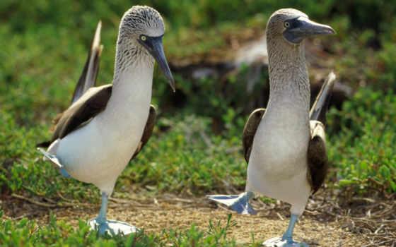 голубоногая, олуша, птиц, две, птица, чайки, птицы, lat, sula, которых,