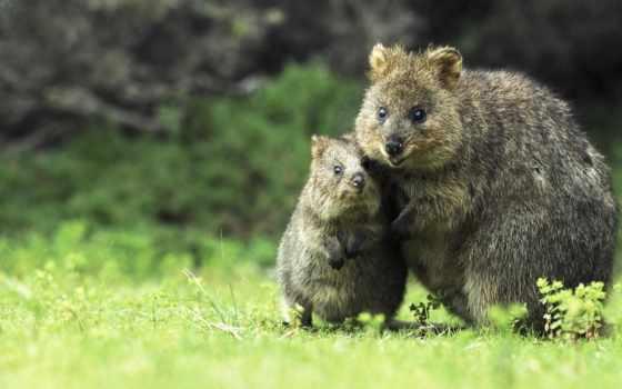 квокка, но, рождается, детёныш, kangaroo, one,