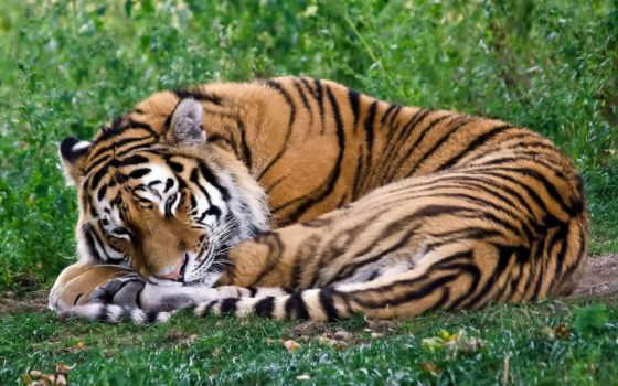 тигр, лежит, спит